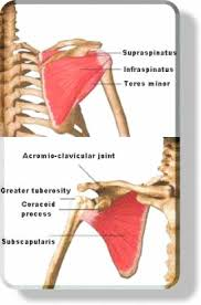 Rotator Cuff Injury From Bench Press Muscular System Rotator Cuff Muscles