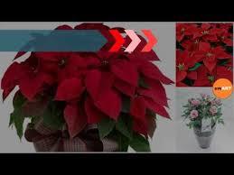 Christmas Plants Christmas Plants Popular Christmas Plants And Flowers Youtube