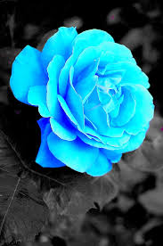 Teal Roses Ice Blue Rose By Zzzonked17 On Deviantart