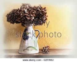 Dried Hydrangeas Vase Of Dried Hydrangeas On Table With Red Checked Cloth In Stock