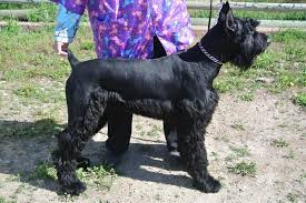 schnauzers hair cuts french valley ranch s giant schnoodles and miniature schnauzers