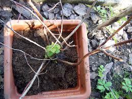 mirtillo in vaso le avventure della fantasia salvare le piante di mirtillo