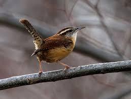 Nj Backyard Birds by House Wren Bird Watcher U0027s Digest