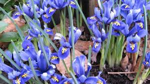 family gardening scilla fraseri of gray lily family gardening tips youtube