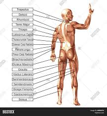 3d Human Anatomy High Resolution Concept Or Conceptual 3d Human Anatomy And Muscle