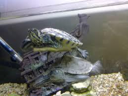 Texas Map Turtle Turtle Tankmates Monsterfishkeepers Com