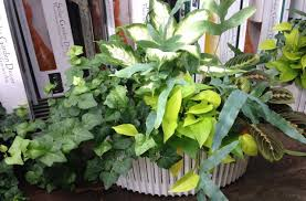 gardening indoor tropical plants for winter u2013 carycitizen