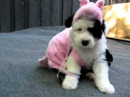 Halloween Costume Pig Puppy Oink Woof Www Sheepdogpup