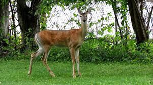 backyard birding and nature whitetail deer galloping in backyard