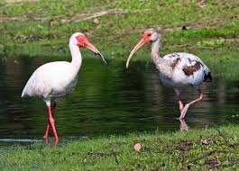 Florida Backyard Birds - white ibises u2013 florida u0027s friendly neighborhood birds tallahassee