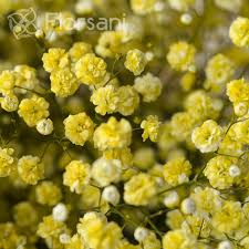 baby s breath wholesale yellow tinted baby s breath