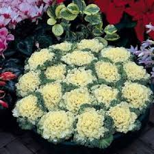 ornamental kale nagoya white 50 seeds flowering kale seeds ebay