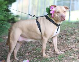 american pitbull terrier puppies for adoption view ad american pit bull terrier chinese shar pei mix dog for