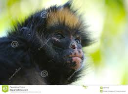 Bad Monkey Bad Monkey Stock Photos Royalty Free Stock Images