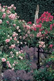 Climbing Plants For North Facing Walls - roses choosing the best rhs gardening
