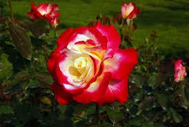double delight climbing rose hello hello plants u0026 garden supplies