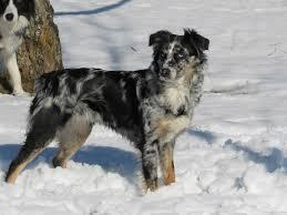 australian shepherd nbt puppies ajka chanel rafael