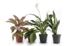 Fragrant Indoor Plants Low Light Amazon Com Live Indoor Plants Grocery U0026 Gourmet Food Bonsai