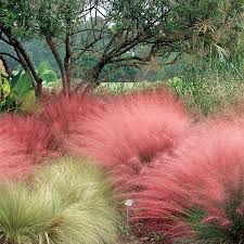 pink muhly grass from wayside gardens
