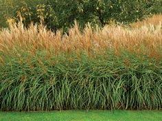 zebra grass plant plants for houston