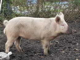 it u0027s pig time front yard farmer