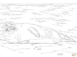 harbor seal lying on the beach coloring page free printable