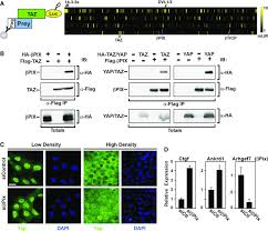 Yap Flag Arhgef7 Promotes Activation Of The Hippo Pathway Core Kinase Lats