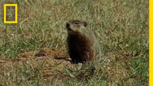 groundhog forecasters national geographic youtube