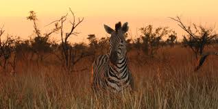 Beach House Zebra Tab by South Africa Safari Rates U0026 Dates Adventures By Disney