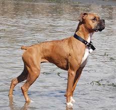 boxer dog mean 42 wonderful boxer dog images u0026 4k wallpaper picsmine