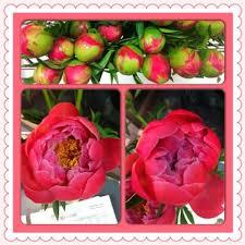 Wholesale Peonies Mayesh Wholesale Florist Peonies