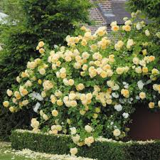 english rose climbers david austin roses