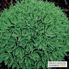 73 best cold hardy zone 5 succulents images on