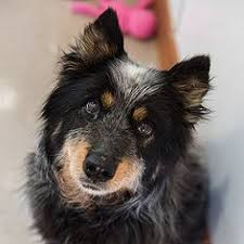 adopt a australian shepherd chandler az australian shepherd australian cattle dog mix meet