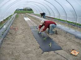 using plastic mulches and drip irrigation for vegetables dr