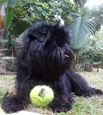 affenpinscher coat type the affenpinscher is a wonderfully funny dog who lives up to his