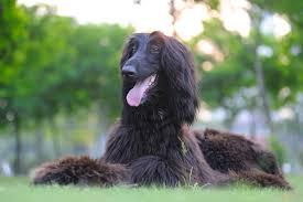 afghan hound group afghan hound dog breed health
