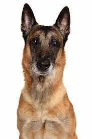 belgian shepherd wolf mix belgian malinois dog breed information pictures characteristics