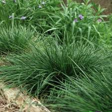 ornamental grass for sale nature nursery