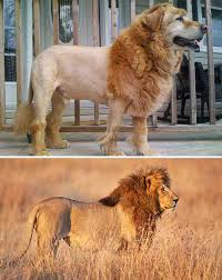 lion dogs 24 dogs that an uncanny resemblance to something else dog