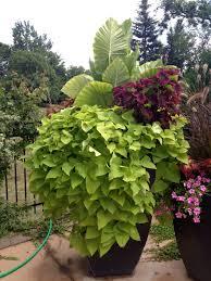 Flowering Patio Plants Elephant Ear Plant Potato Vine Patio Flowers Patio Flowers