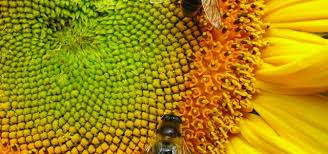 sunflower is a good source of animal feed the organic farmer