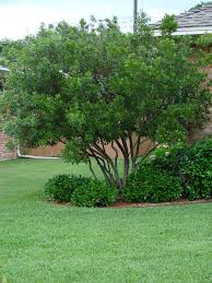enchanting privacy trees for small backyards photo ideas amys office