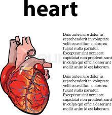 anatomical human heart vector sketch hand drawn illustration