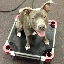 american pit bull terrier lab mix can you train my dog portland dog training