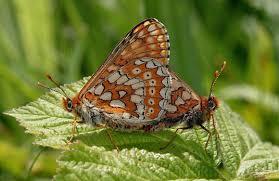 butterfly anatomy thorax abdomen