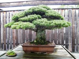 bonsai trees meaning 5 oldest bonsai trees in the bonsai