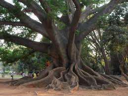 the banyan big tree picture of lalbagh botanical garden