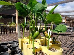 native plant seeds wiliwili native hawaiian garden nhg121215