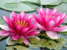 Blue Lotus Flower Meaning - lotus pictures of blue games english the free dictionary
